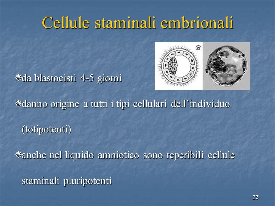 23 Cellule staminali embrionali da blastocisti 4-5 giorni da blastocisti 4-5 giorni danno origine a tutti i tipi cellulari dellindividuo (totipotenti)