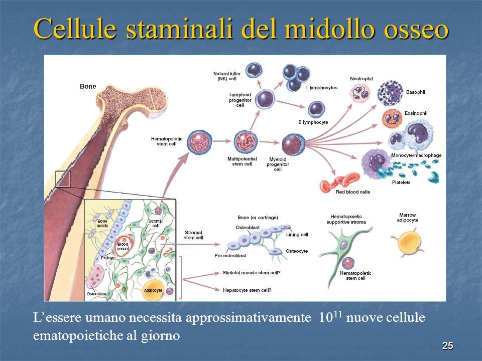 25 Cellule staminali del midollo osseo Lessere umano necessita approssimativamente 10 11 nuove cellule ematopoietiche al giorno
