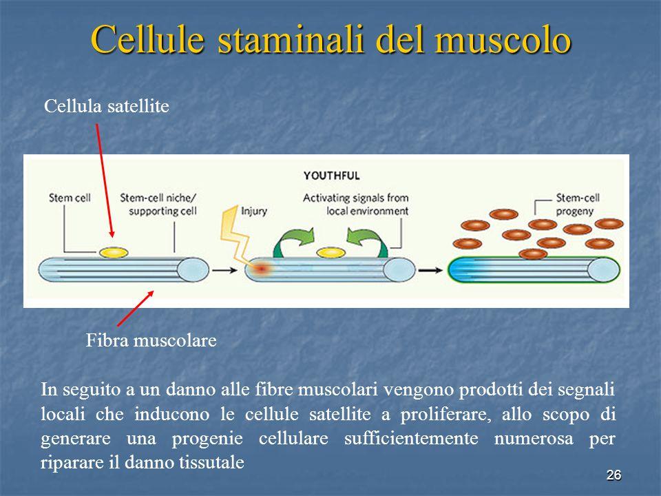 26 Cellule staminali del muscolo In seguito a un danno alle fibre muscolari vengono prodotti dei segnali locali che inducono le cellule satellite a pr