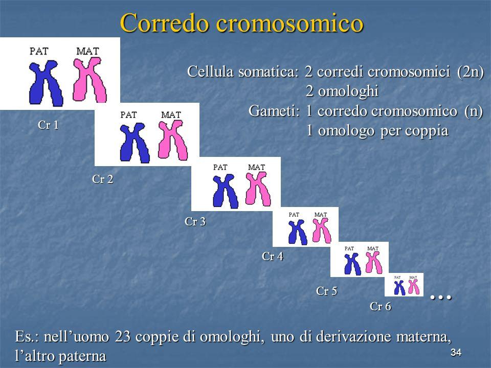 34 Es.: nelluomo 23 coppie di omologhi, uno di derivazione materna, laltro paterna Corredo cromosomico … Cr 1 Cr 2 Cr 3 Cr 4 Cr 5 Cr 6 Cellula somatic