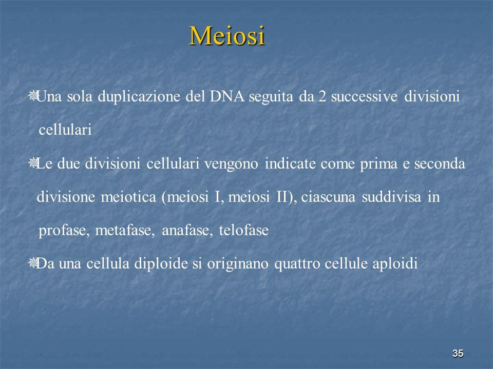 35 Meiosi Una sola duplicazione del DNA seguita da 2 successive divisioni cellulari Le due divisioni cellulari vengono indicate come prima e seconda d
