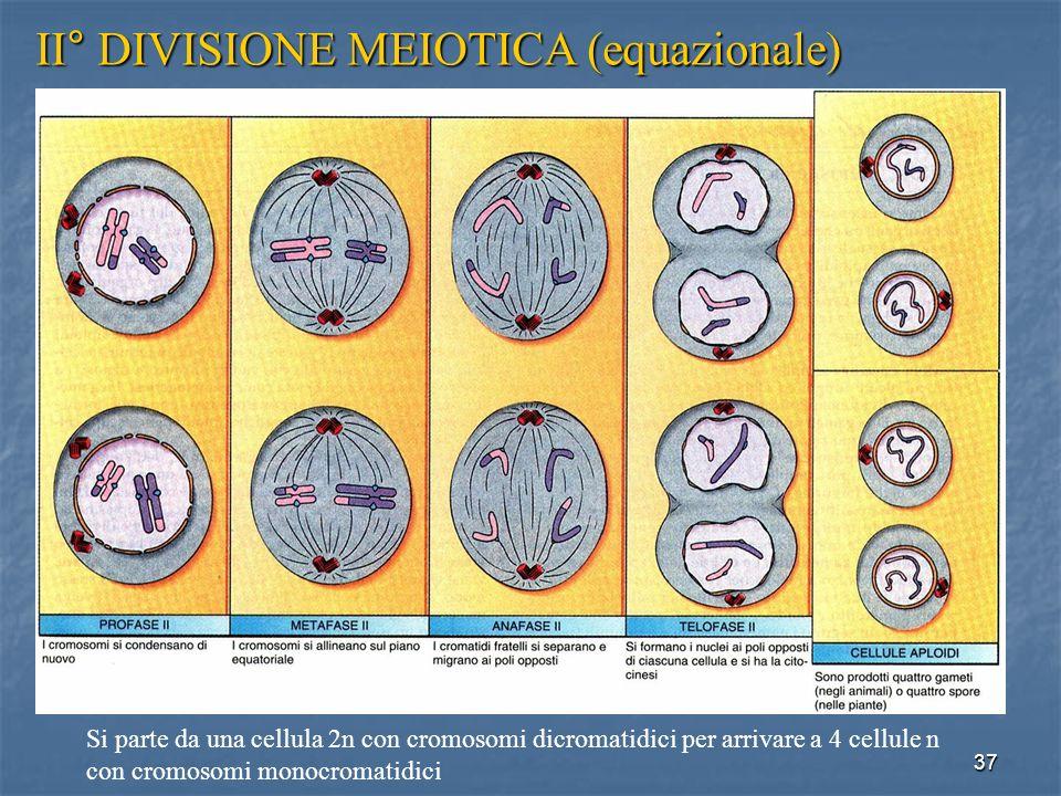 37 II° DIVISIONE MEIOTICA (equazionale) Si parte da una cellula 2n con cromosomi dicromatidici per arrivare a 4 cellule n con cromosomi monocromatidic