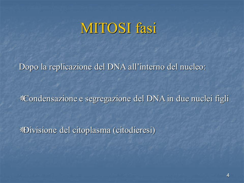4 MITOSI fasi Dopo la replicazione del DNA allinterno del nucleo: Condensazione e segregazione del DNA in due nuclei figli Condensazione e segregazion