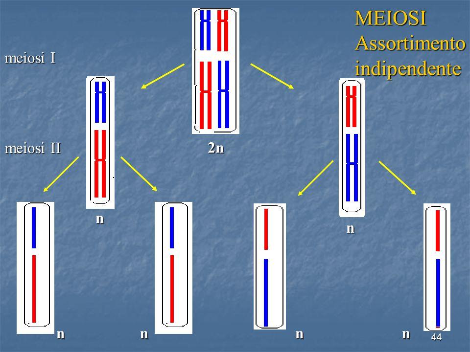 44 n n nn meiosi I meiosi II 2n 8 8 8 8 1 1 1 1 MEIOSIAssortimentoindipendente n n