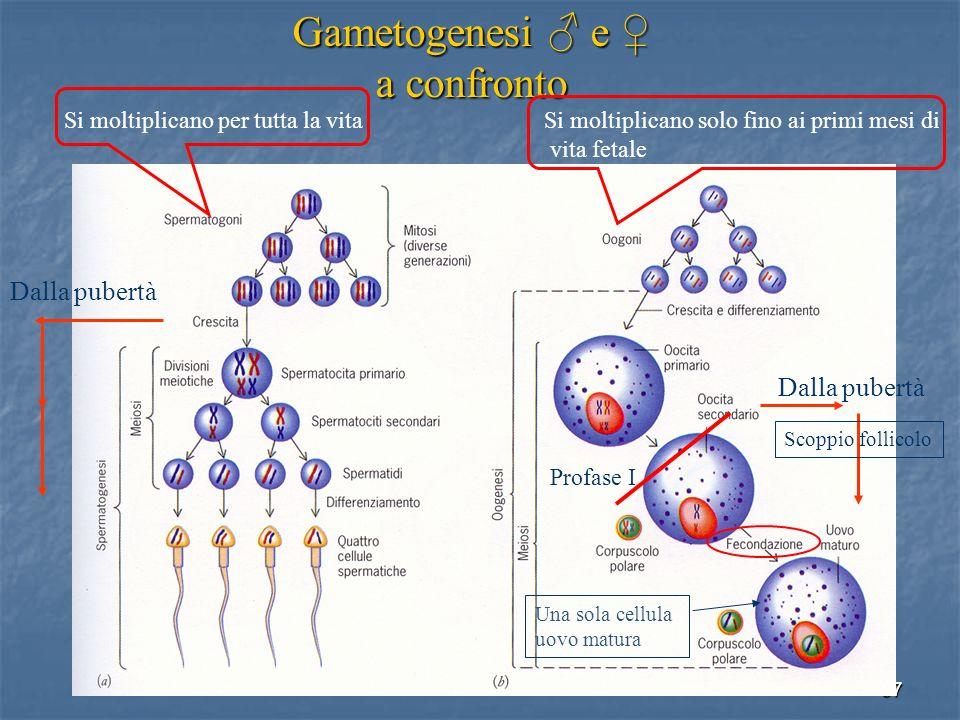 57 Gametogenesi e Gametogenesi e a confronto Dalla pubertà Si moltiplicano per tutta la vita Si moltiplicano solo fino ai primi mesi di vita fetale Pr