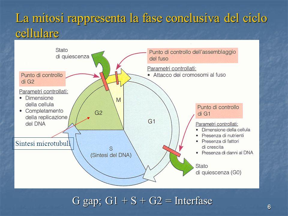 47 Gametogenesi Gametogenesi Normalmente degenerano (Cellule germinali)