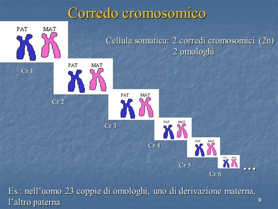9 Es.: nelluomo 23 coppie di omologhi, uno di derivazione materna, laltro paterna Corredo cromosomico … Cr 1 Cr 2 Cr 3 Cr 4 Cr 5 Cr 6 Cellula somatica