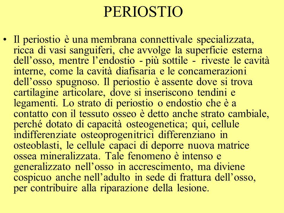PERIOSTIO Il periostio è una membrana connettivale specializzata, ricca di vasi sanguiferi, che avvolge la superficie esterna dellosso, mentre lendost