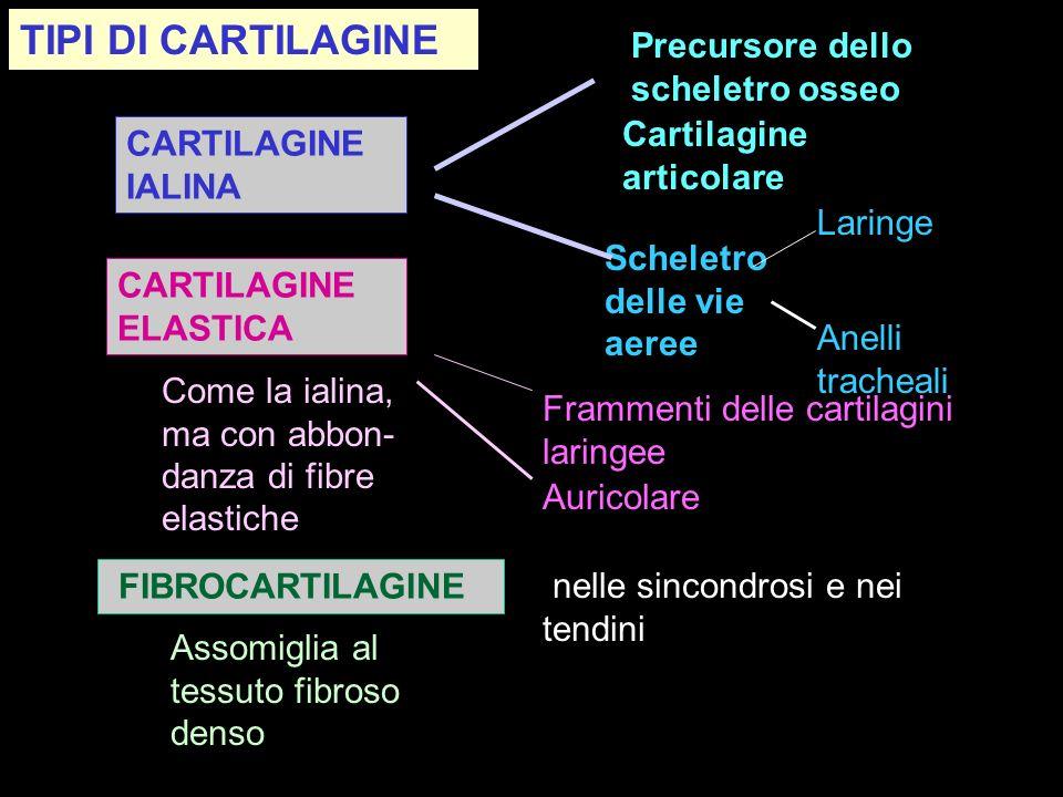 CARTILAGINE IALINA Scheletro delle vie aeree Anelli tracheali Laringe Precursore dello scheletro osseo Cartilagine articolare Come la ialina, ma con a
