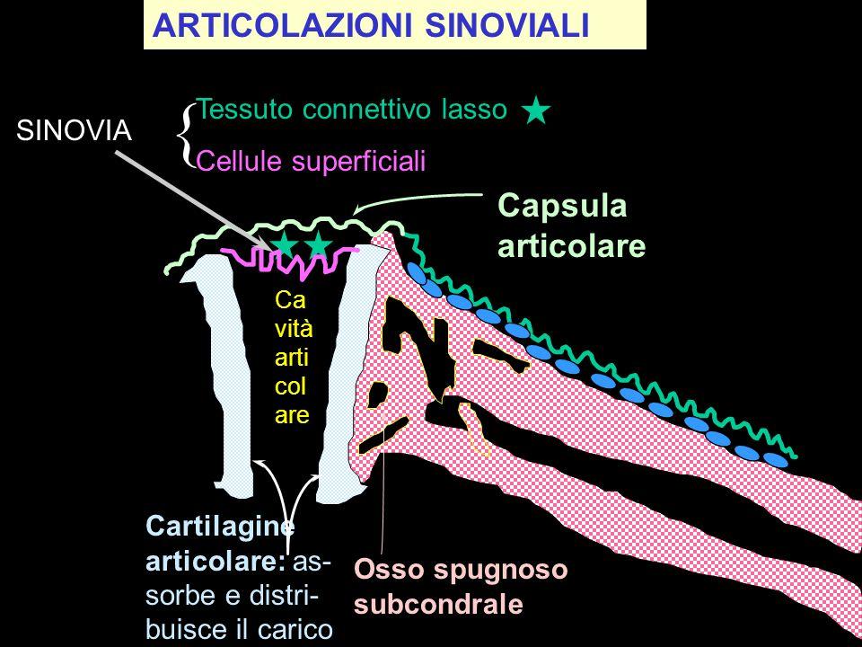 Osso spugnoso subcondrale Cartilagine articolare: as- sorbe e distri- buisce il carico SINOVIA Tessuto connettivo lasso Cellule superficiali Capsula a