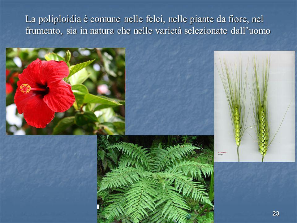23 La poliploidia è comune nelle felci, nelle piante da fiore, nel frumento, sia in natura che nelle varietà selezionate dalluomo