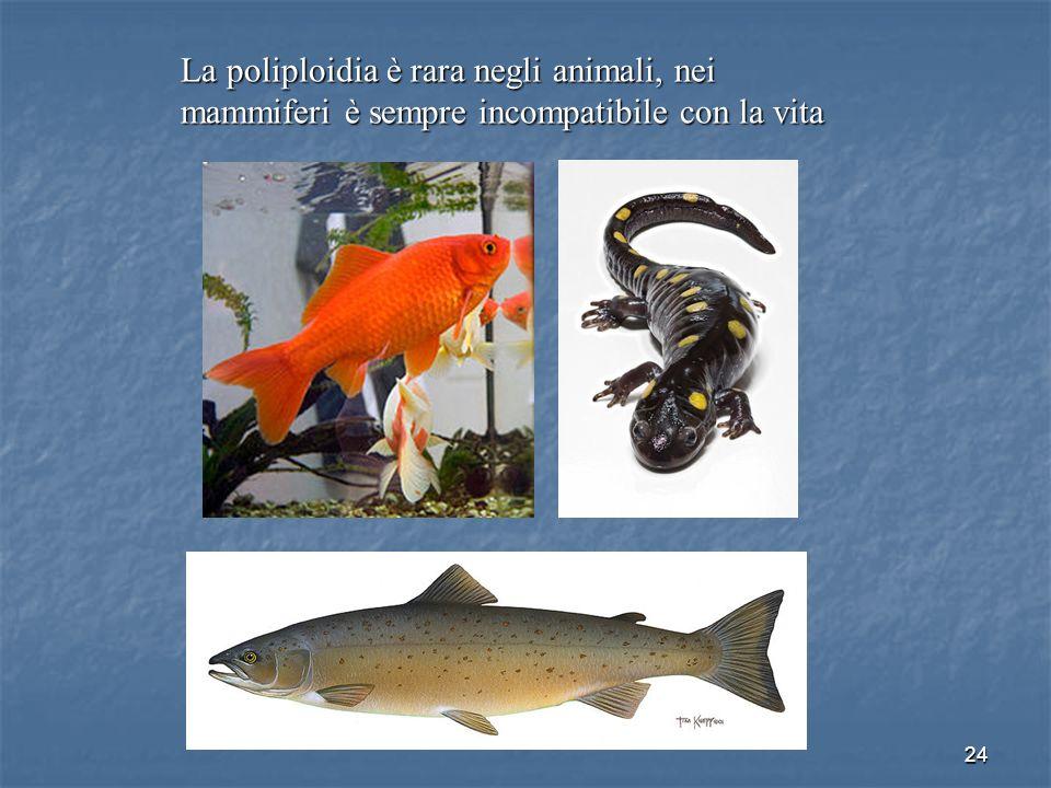 24 La poliploidia è rara negli animali, nei mammiferi è sempre incompatibile con la vita
