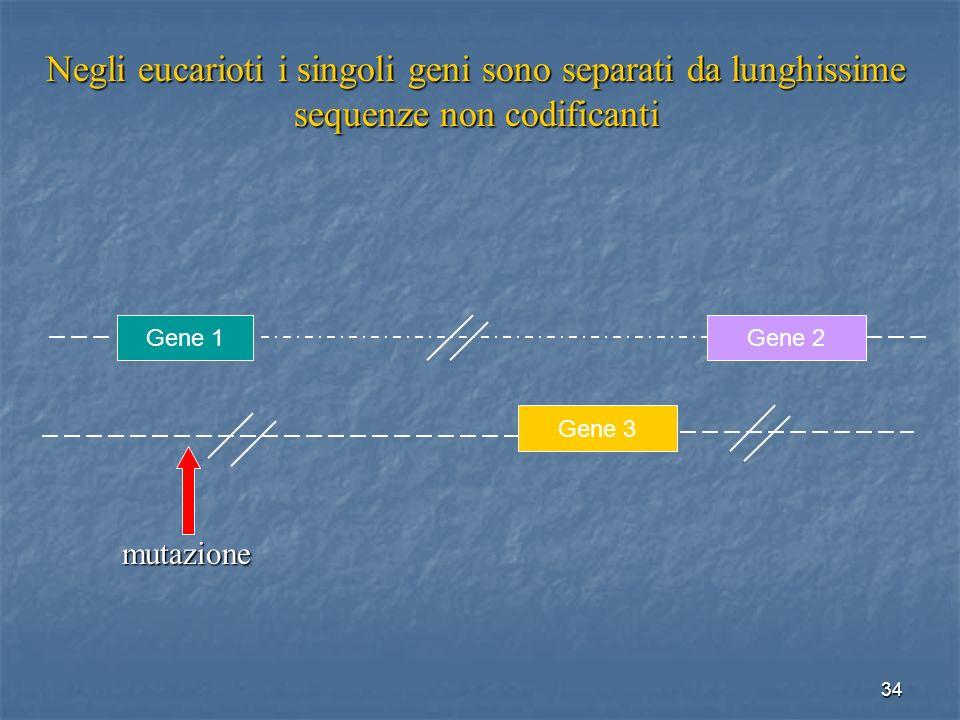 34 Negli eucarioti i singoli geni sono separati da lunghissime sequenze non codificanti Gene 1Gene 2Gene 3 mutazione