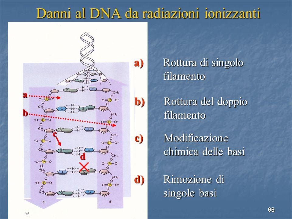 66 Danni al DNA da radiazioni ionizzanti a) Rottura di singolo filamento a b c d d) Rimozione di singole basi c) Modificazione chimica delle basi b) R