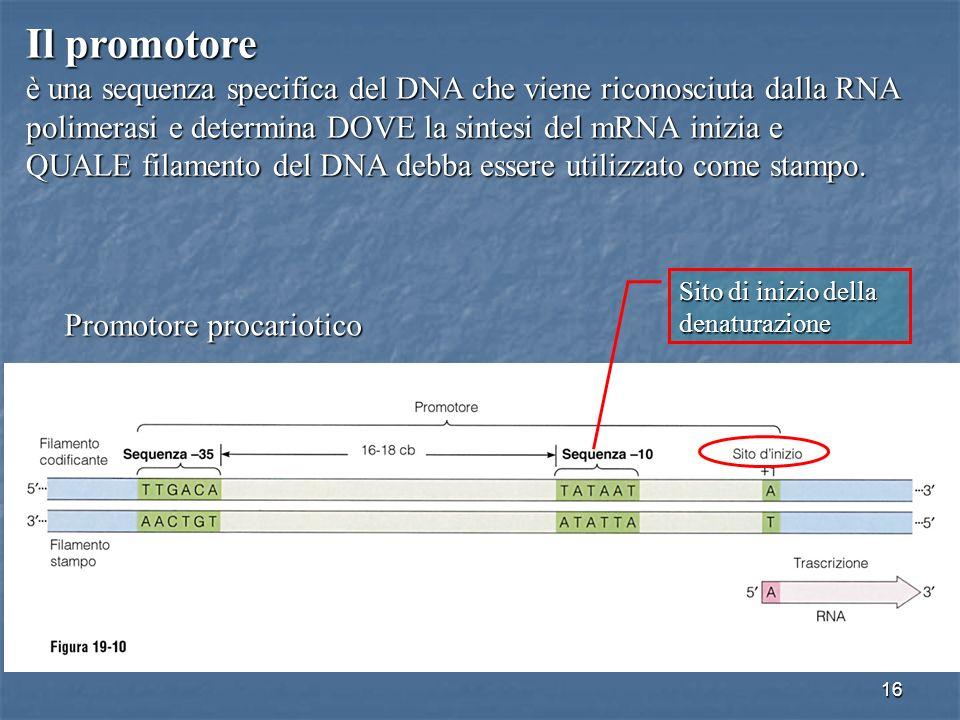 16 Il promotore è una sequenza specifica del DNA che viene riconosciuta dalla RNA polimerasi e determina DOVE la sintesi del mRNA inizia e QUALE filam