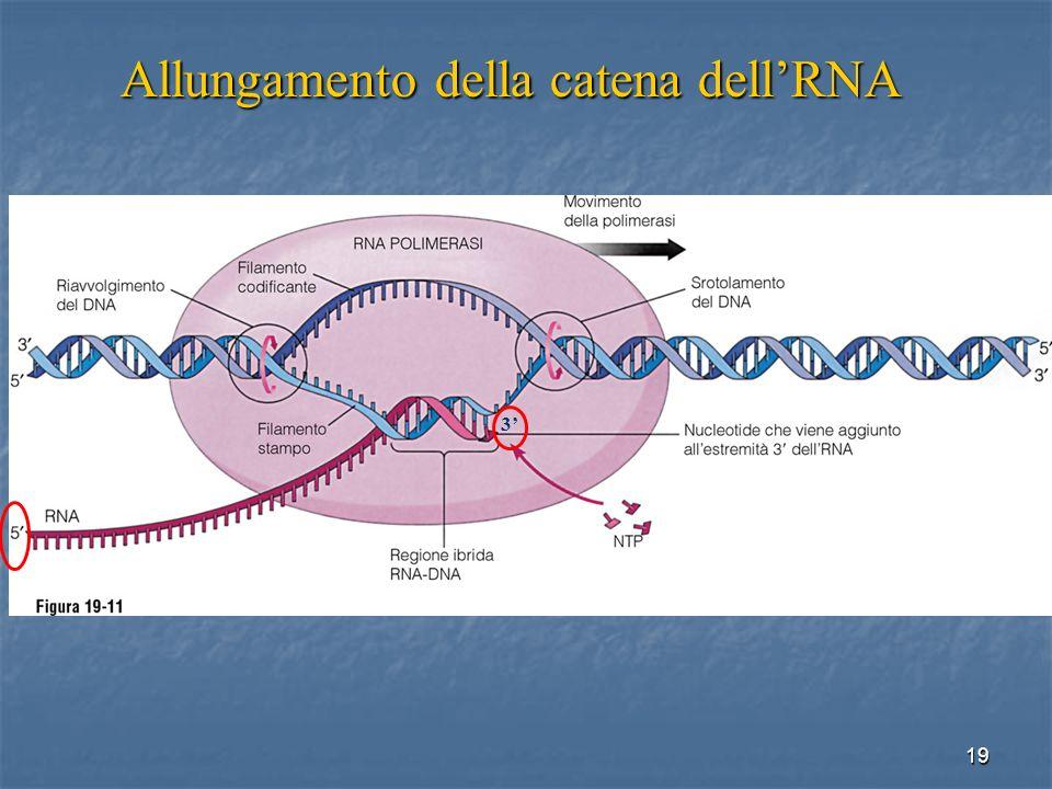 19 Allungamento della catena dellRNA 3