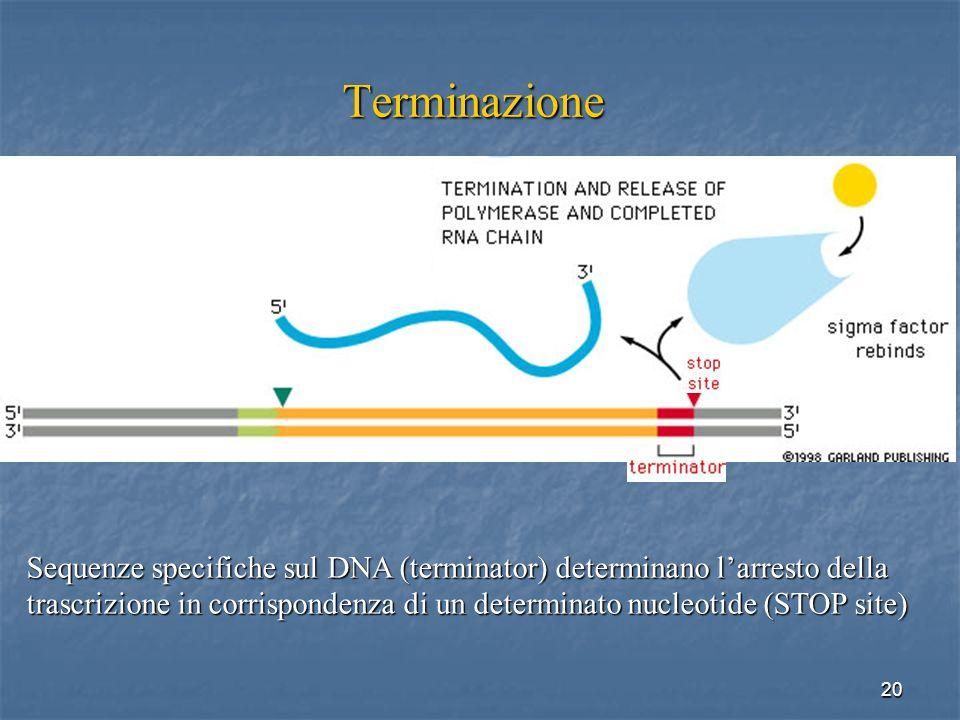 20 Terminazione Sequenze specifiche sul DNA (terminator) determinano larresto della trascrizione in corrispondenza di un determinato nucleotide (STOP