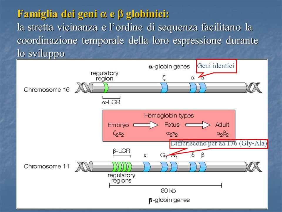 43 Famiglia dei geni e globinici: la stretta vicinanza e lordine di sequenza facilitano la coordinazione temporale della loro espressione durante lo s