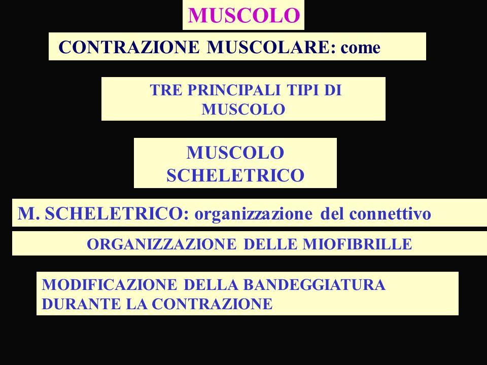 MUSCOLO TRE PRINCIPALI TIPI DI MUSCOLO CONTRAZIONE MUSCOLARE: come MUSCOLO SCHELETRICO M. SCHELETRICO: organizzazione del connettivo ORGANIZZAZIONE DE