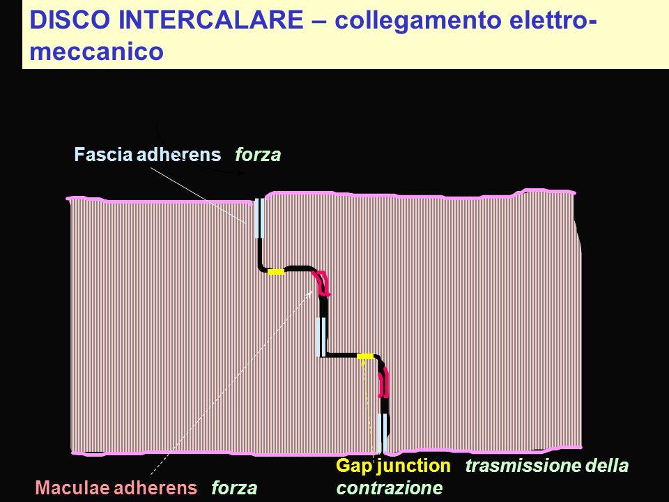 DISCO INTERCALARE – collegamento elettro- meccanico Fascia adherens forza Maculae adherens forza Gap junction trasmissione della contrazione