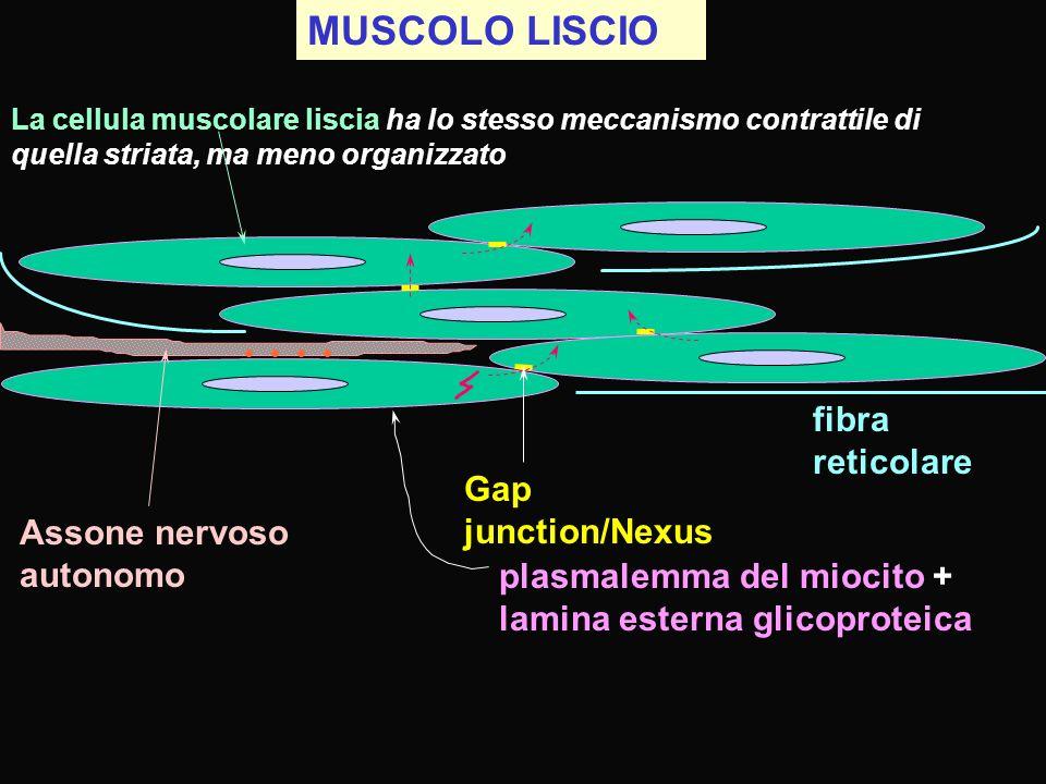 MUSCOLO LISCIO La cellula muscolare liscia ha lo stesso meccanismo contrattile di quella striata, ma meno organizzato fibra reticolare Gap junction/Ne