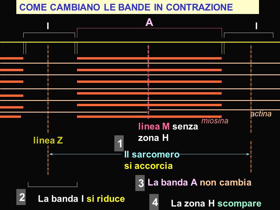 COME CAMBIANO LE BANDE IN CONTRAZIONE linea Z I A I linea M senza zona H miosina actina Il sarcomero si accorcia La banda I si riduce La banda A non c