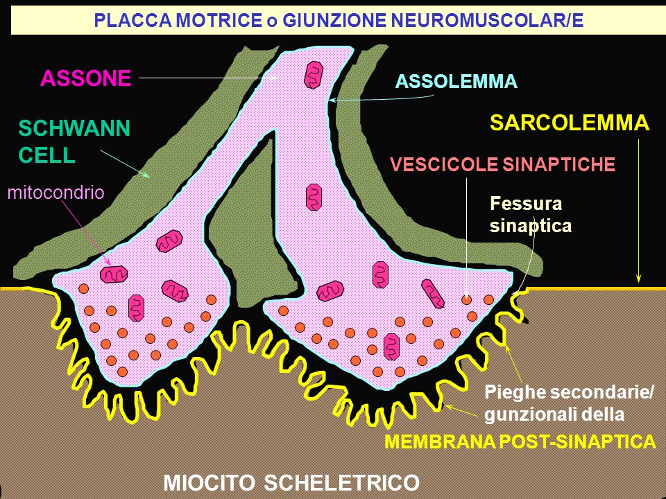 PLACCA MOTRICE o GIUNZIONE NEUROMUSCOLAR/E ASSONE SCHWANN CELL SARCOLEMMA MIOCITO SCHELETRICO Fessura sinaptica Pieghe secondarie/ gunzionali della ME