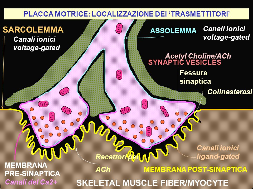 PLACCA MOTRICE: LOCALIZZAZIONE DEI TRASMETTITORI SARCOLEMMA SKELETAL MUSCLE FIBER/MYOCYTE Fessura sinaptica MEMBRANA POST-SINAPTICA ASSOLEMMA SYNAPTIC