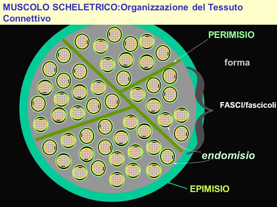 MUSCOLO SCHELETRICO:Organizzazione del Tessuto Connettivo } FASCI/fascicoli PERIMISIO EPIMISIO endomisio forma