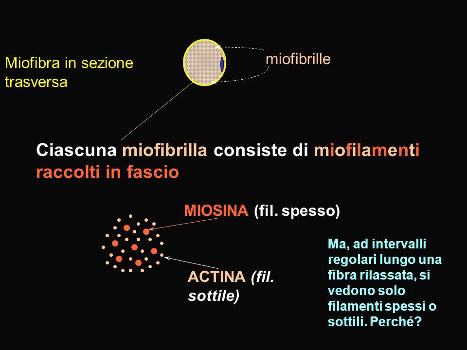 MIOFIBRA SCHELETRICA: Generazione della contrazione Disco/linea Z zona H con linea M filamento spesso MIOSINA filamento sottile ACTINA filamento di ACTINA le teste dei filamenti di miosina sporgono ad intervalli regolari Le code dei filamenti di miosina formano un fascio e danno il filamento spesso Molecole di F actina globulare in catena
