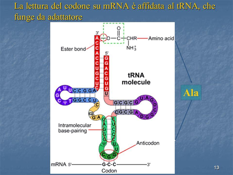 13 La lettura del codone su mRNA è affidata al tRNA, che funge da adattatore Ala