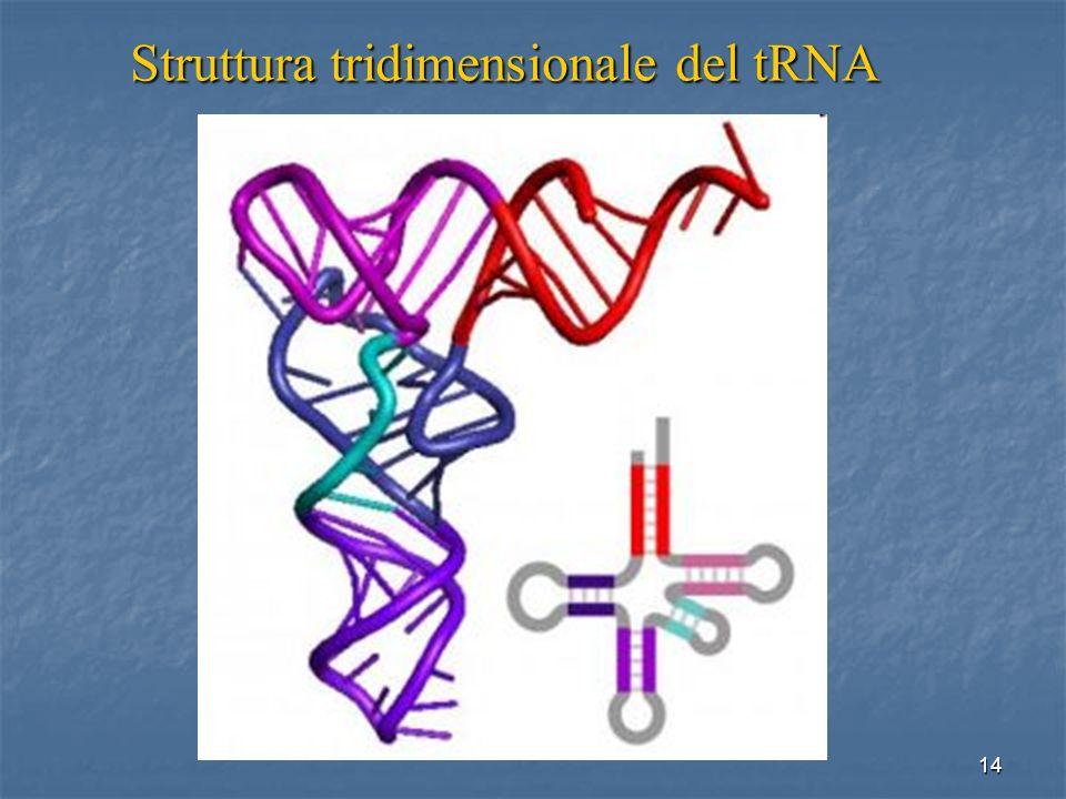 14 Struttura tridimensionale del tRNA