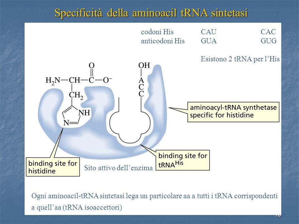 16 Specificità della aminoacil tRNA sintetasi Sito attivo dellenzima Ogni aminoacil-tRNA sintetasi lega un particolare aa a tutti i tRNA corrispondent