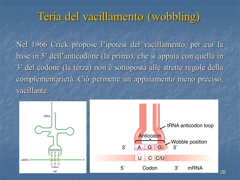 20 Nel 1966 Crick propose lipotesi del vacillamento, per cui la base in 5 dellanticodone (la prima), che si appaia con quella in 3 del codone (la terz