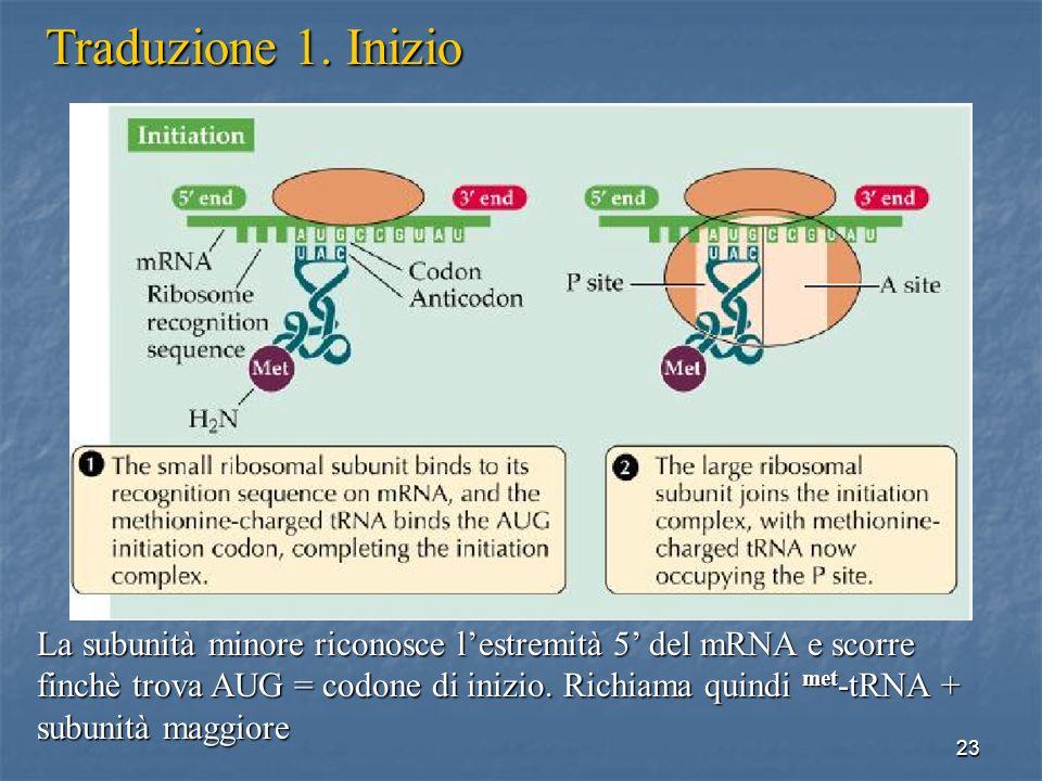 23 Traduzione 1. Inizio La subunità minore riconosce lestremità 5 del mRNA e scorre finchè trova AUG = codone di inizio. Richiama quindi met -tRNA + s