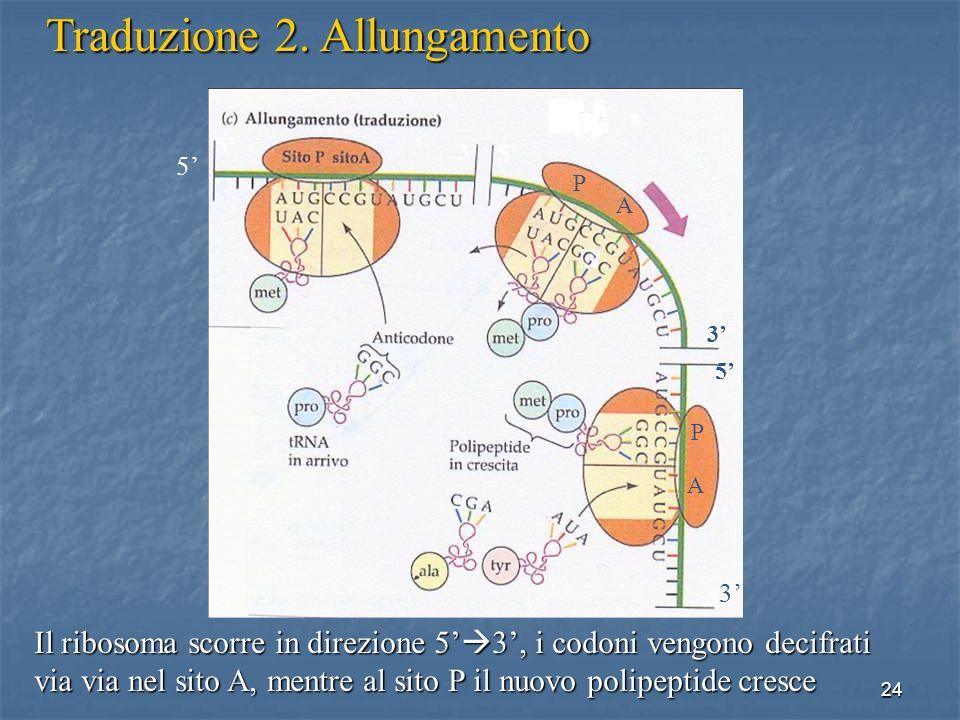24 Il ribosoma scorre in direzione 5 3, i codoni vengono decifrati via via nel sito A, mentre al sito P il nuovo polipeptide cresce Traduzione 2. Allu