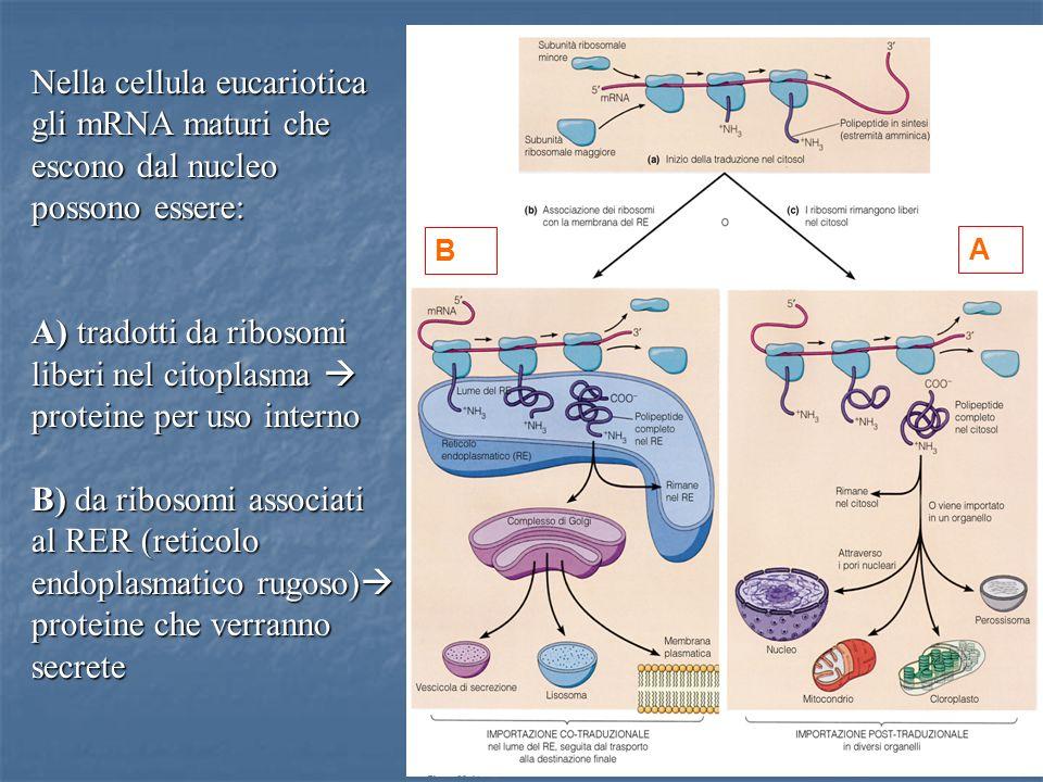 29 Nella cellula eucariotica gli mRNA maturi che escono dal nucleo possono essere: A) tradotti da ribosomi liberi nel citoplasma A) tradotti da riboso