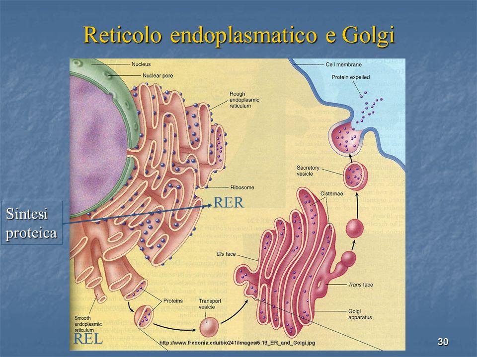 30 Reticolo endoplasmatico e Golgi REL RER Sintesiproteica