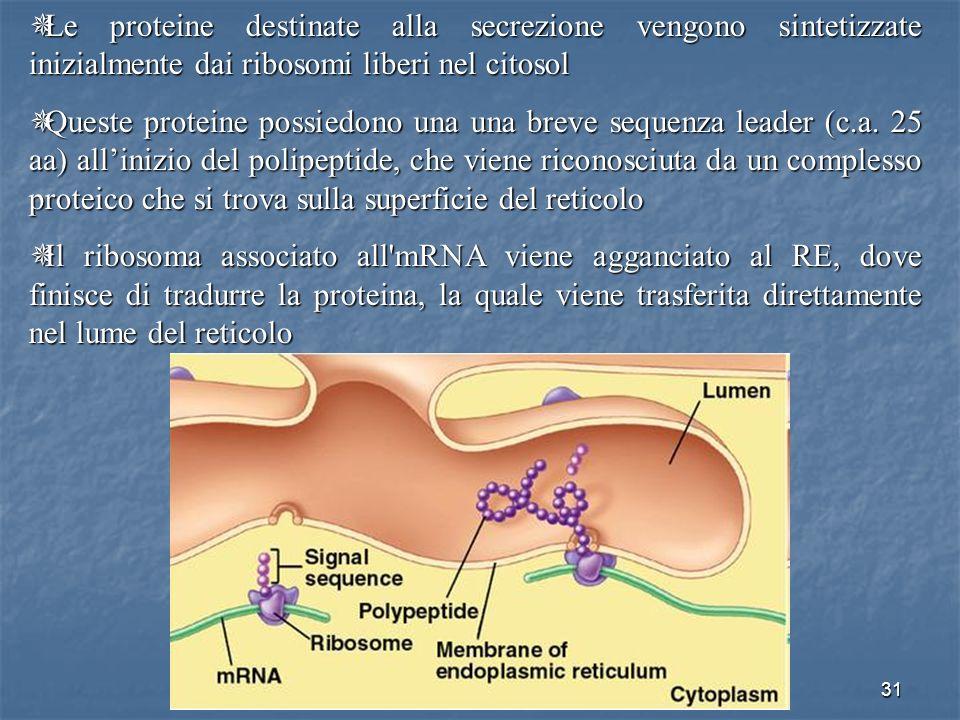 31 Le proteine destinate alla secrezione vengono sintetizzate inizialmente dai ribosomi liberi nel citosol Le proteine destinate alla secrezione vengo