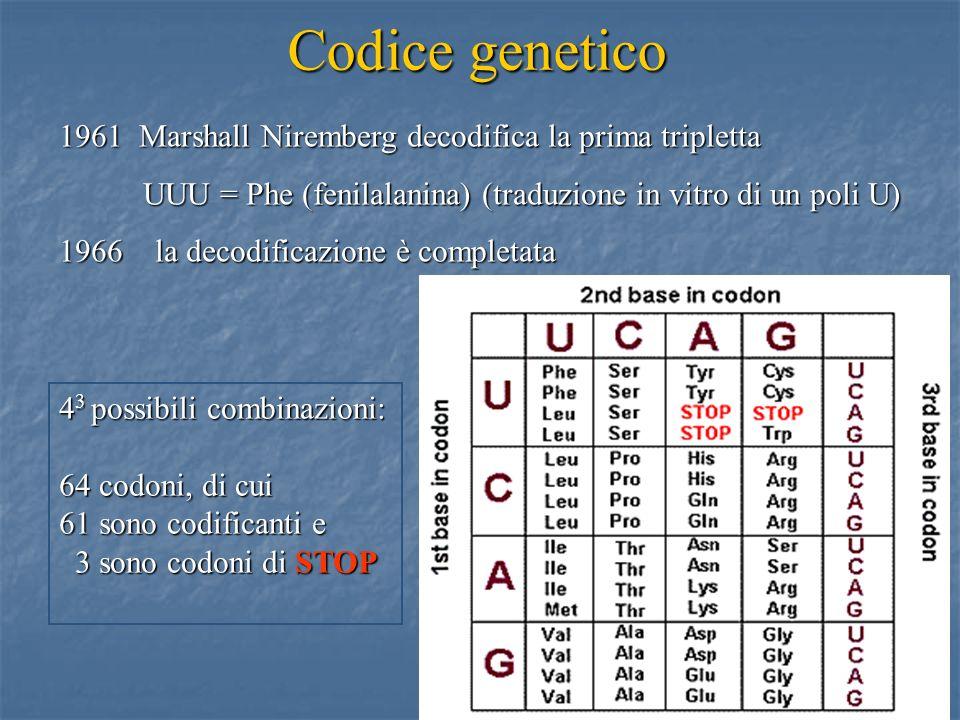 5 1961 Marshall Niremberg decodifica la prima tripletta UUU = Phe (fenilalanina) (traduzione in vitro di un poli U) UUU = Phe (fenilalanina) (traduzio