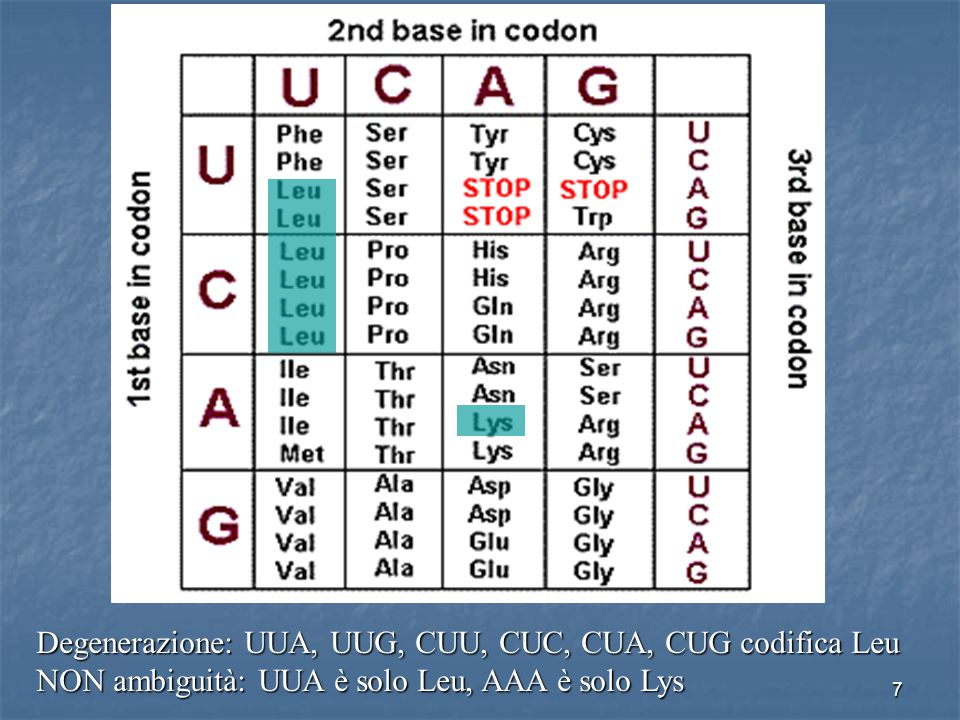 7 Degenerazione: UUA, UUG, CUU, CUC, CUA, CUG codifica Leu NON ambiguità: UUA è solo Leu, AAA è solo Lys