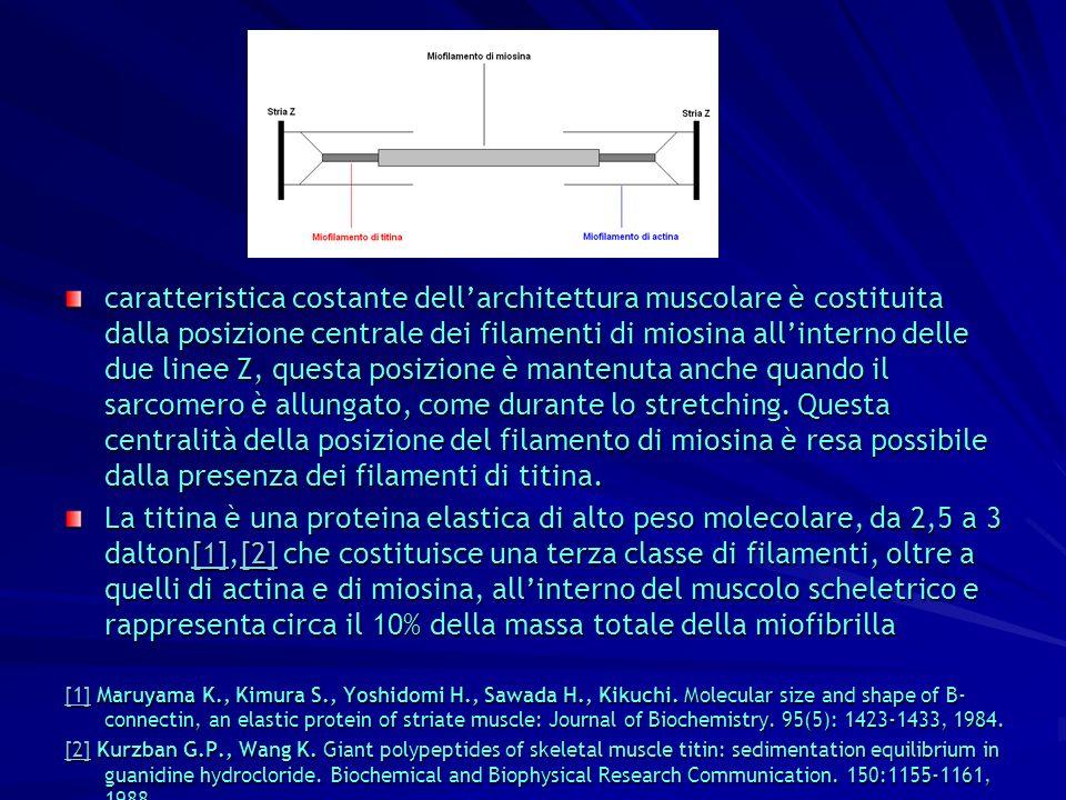 caratteristica costante dellarchitettura muscolare è costituita dalla posizione centrale dei filamenti di miosina allinterno delle due linee Z, questa