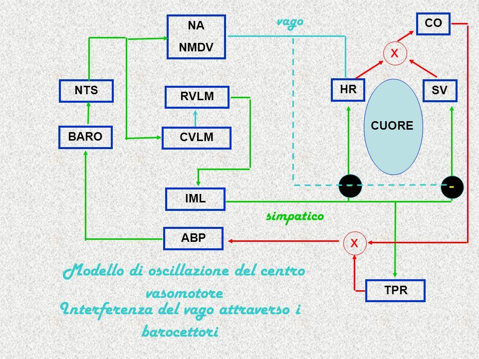 RVLM IML HR SV TPR CUORE simpatico NA NMDV NTS x CO BARO ABP x CVLM vago Modello di oscillazione del centro vasomotore Interferenza del vago attravers