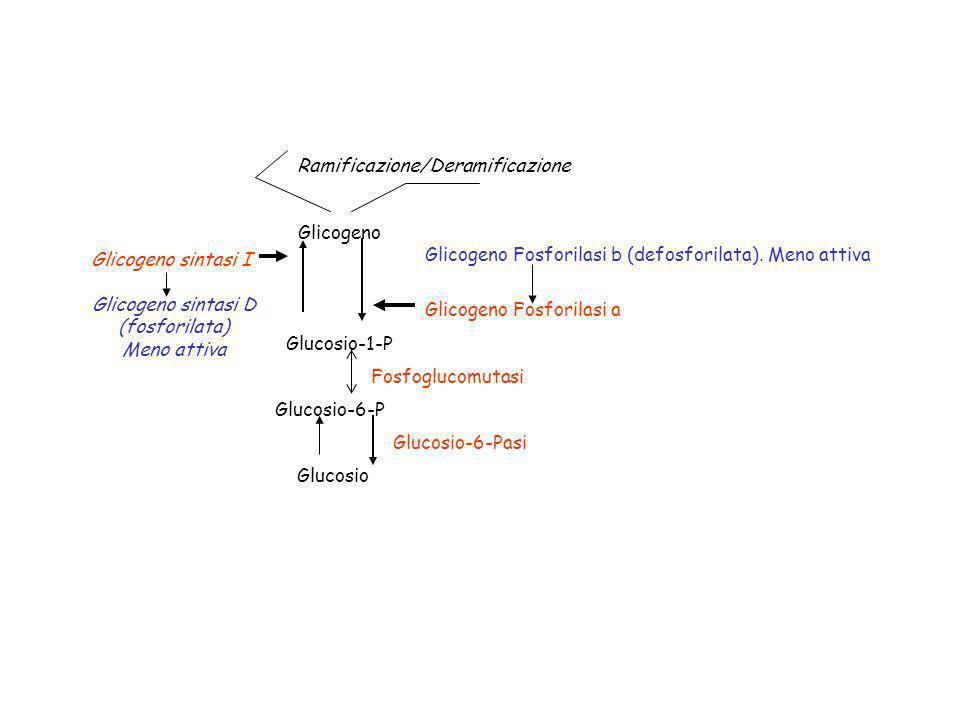 Glucosio-1-P Glucosio-6-P Glicogeno Glicogeno Fosforilasi a Glicogeno Fosforilasi b (defosforilata). Meno attiva Glucosio Glucosio-6-Pasi Fosfoglucomu