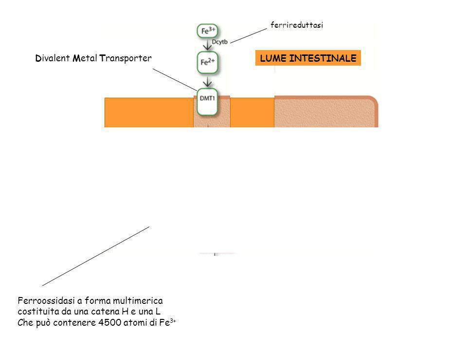 LUME INTESTINALE Divalent Metal Transporter Ossidasi Cu-dipendenti Nel topo inattivazione efestina determina anemia sideropenica (X-linked) ferriredut