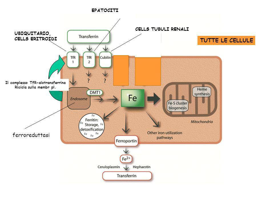 TUTTE LE CELLULE UBIQUITARIO, CELLS ERITROIDI EPATOCITI CELLS TUBULI RENALI ferroreduttasi Il complesso TfR-alotransferrina Ricicla sulla membr pl.