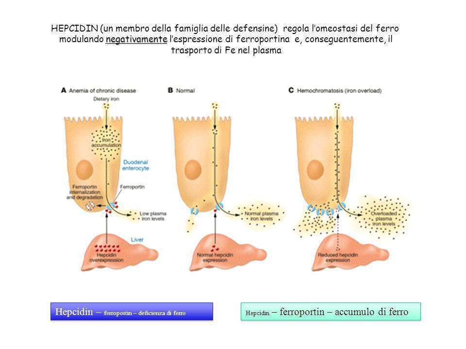 HEPCIDIN (un membro della famiglia delle defensine) regola lomeostasi del ferro negativamente modulando negativamente lespressione di ferroportina e,