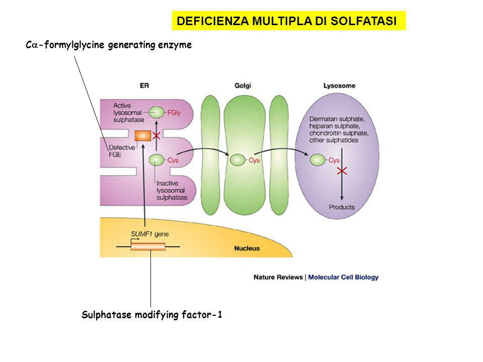 Sulphatase modifying factor-1 C -formylglycine generating enzyme DEFICIENZA MULTIPLA DI SOLFATASI