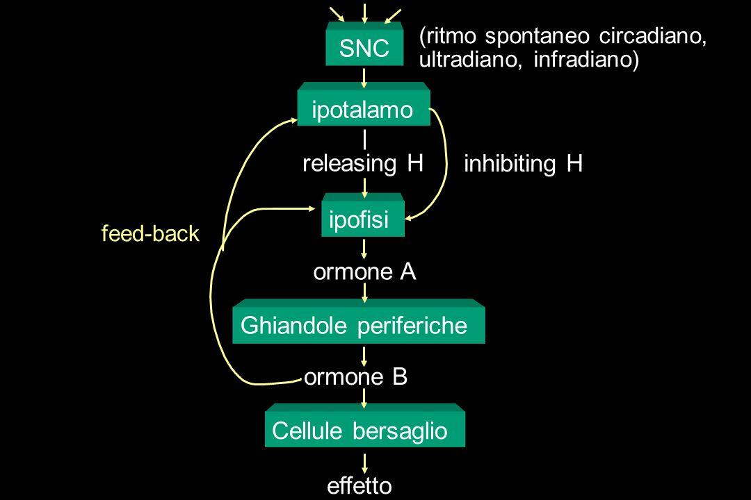 Ghiandole periferiche ormone B Cellule bersaglio effetto SNC ipotalamo (ritmo spontaneo circadiano, ultradiano, infradiano) feed-back ipofisi releasin