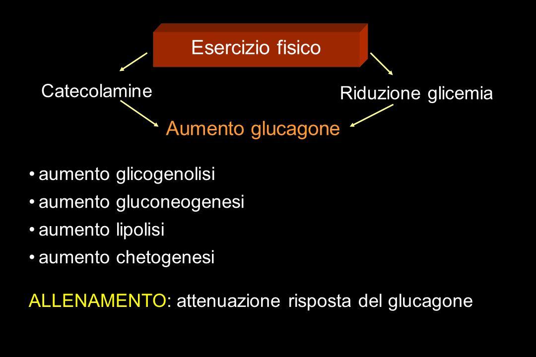 Esercizio fisico Catecolamine Riduzione glicemia Aumento glucagone aumento glicogenolisi aumento gluconeogenesi aumento lipolisi aumento chetogenesi ALLENAMENTO: attenuazione risposta del glucagone